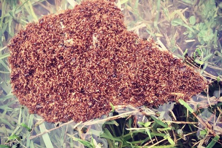 Fire ants, known for their very painful bites which sting like crazy and causes victims to feel like the wounds are burning, have emerged in the waters of hurricane Harvey.