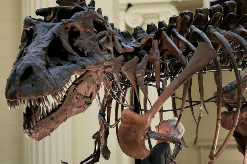 Bill Simpson looks inside a fossil of a Tyrannosaurus rex known as SUE, before removing its forelimb to be used for research at the Field Museum in Chicago, Illinois, U.S. on Oct 6, 2016.