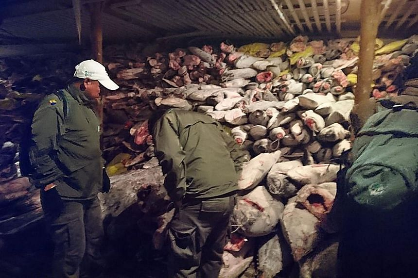 Frozen fish in a Chinese ship caught by the Ecuadorian Navy fishing in the waters of the Galapagos marine reserve on Aug 14. The catch reportedly included several endangered species such as the hammerhead shark. Twenty Chinese fishermen were sentence