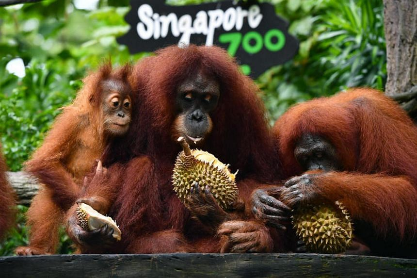 (From left) Putra, Chomel and Anita eating durians at the Singapore Zoo on June 27, 2017.