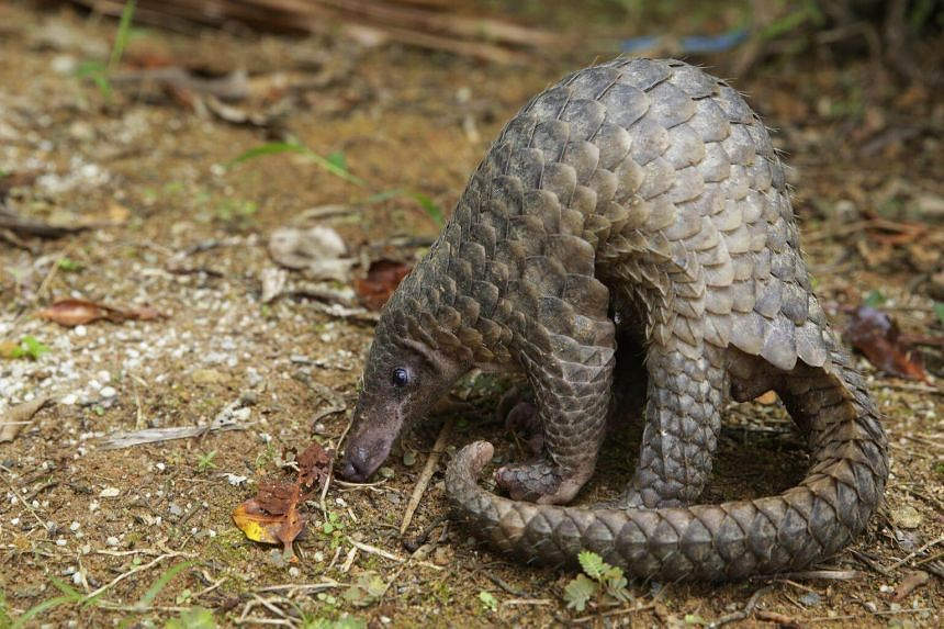 All eight of the world's species of pangolin, which range from 30 to 100 cm in length, are threatened with extinction.