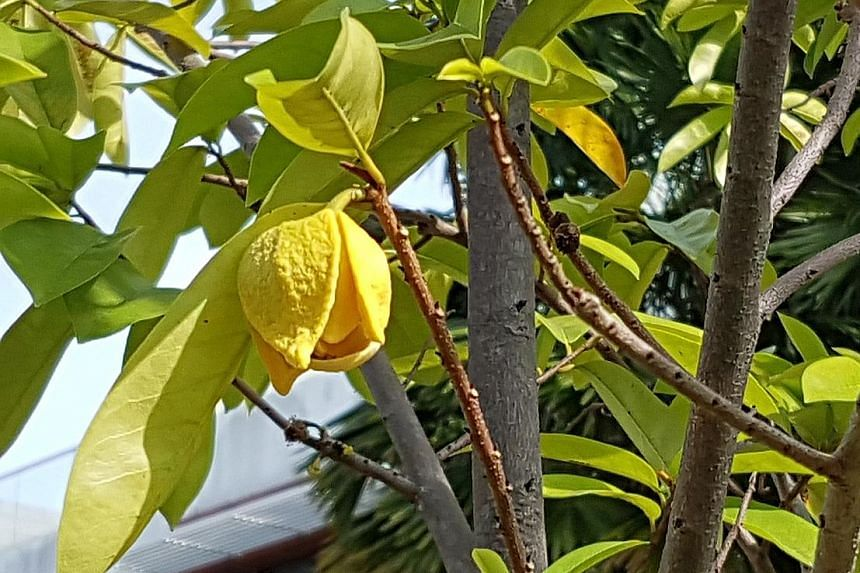 Hand-pollinate soursop plant to encourage fruit growth