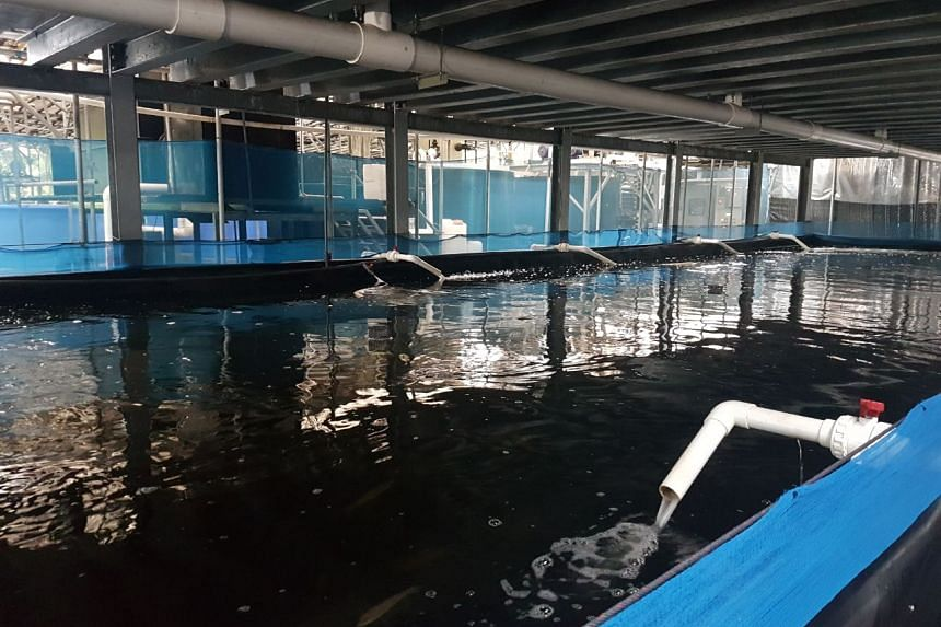 Apollo Aquaculture Group's farm in Lim Chu Kang which comes with six ponds - two on each level. Each pond is 135 sq m and can hold about 22,000 fish fry.