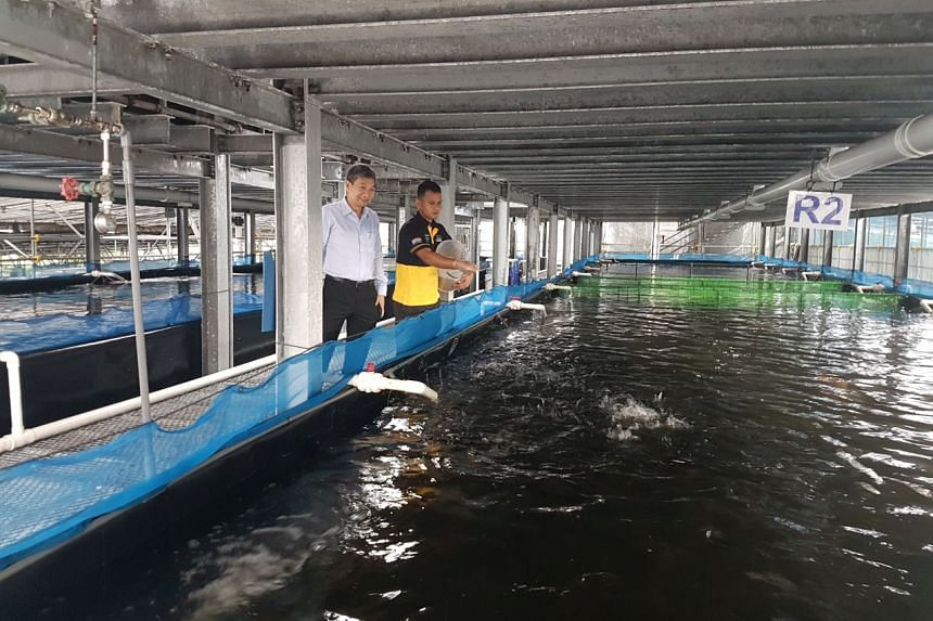 Mr Lucky Phua (left), deputy group CEO of Apollo Aquaculture Group, with a staff member feeding coral trout at Apollo Aquaculture Group's fish farm.