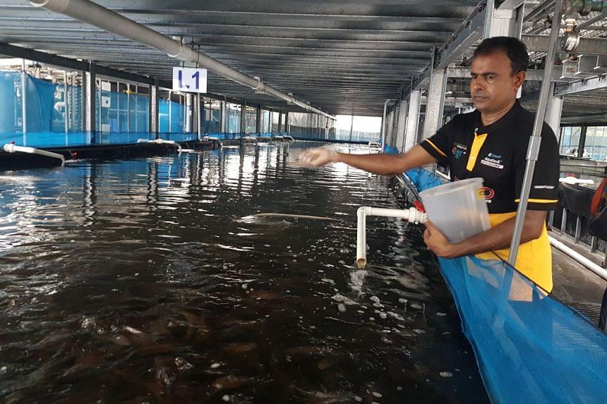A staff member feeding coral trout at Apollo Aquaculture Group's fish farm.