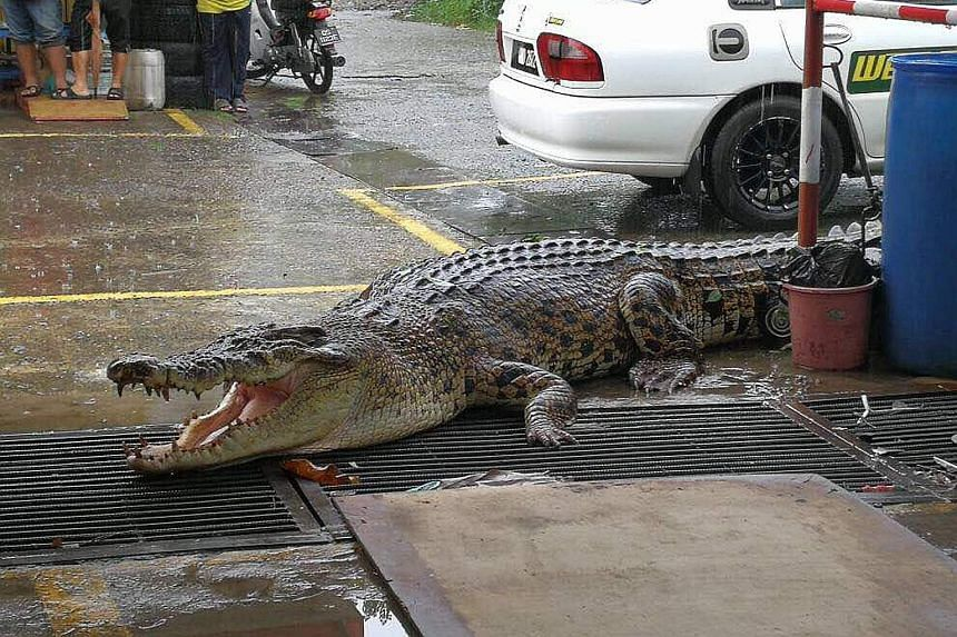 This huge crocodile measuring almost 5m in length was found wandering inside a tyre repair shop in Limbang, Sarawak, yesterday. A team of firemen from the local fire and rescue department managed to subdue the giant reptile and capture it alive. The