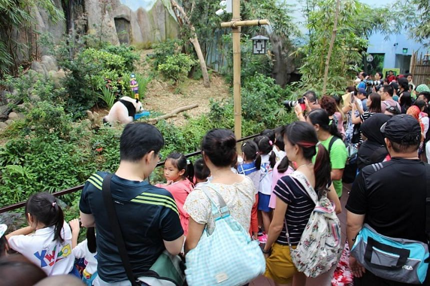 Over 100 River Safari visitors witnessed the birthday party of Kai Kai and Jia Jia.