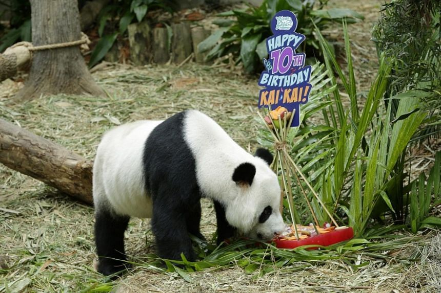 Kai Kai, who turns 10 on Sept 14,  received a frozen cake decorated with chopped carrots and red apples to mark the occasion.
