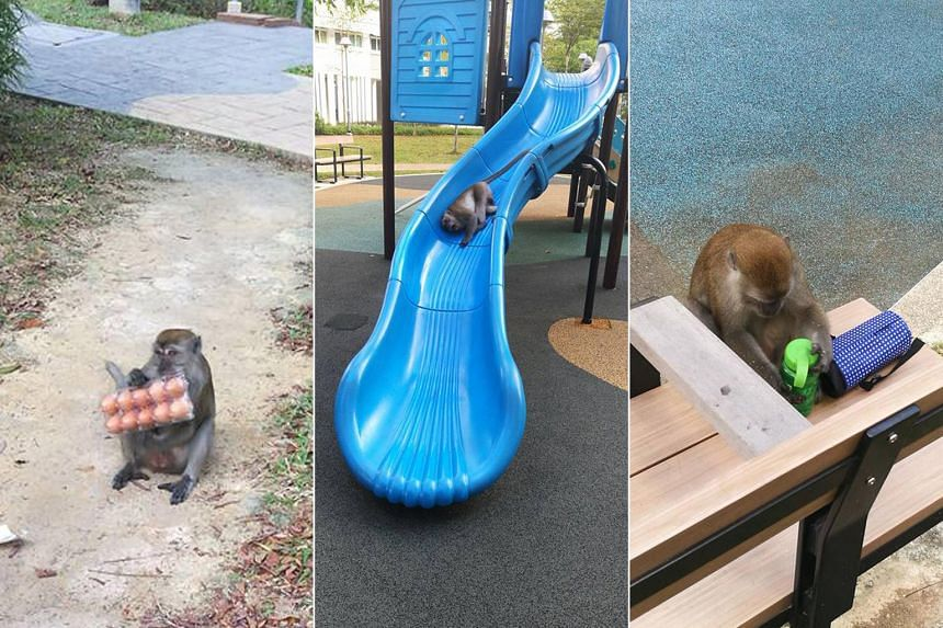 A monkey was seen in the evenings at Punggol's Waterway Sunbeam estate. Resident Joseph Tan took photos of it eating eggs it had snatched from a woman who was carrying groceries, amusing itself at a playground and helping itself to a child's bottle a