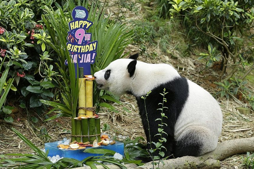 "Panda Jia Jia from the River Safari sniffing a ""birthday cake"". The park's most popular residents, panda duo Kai Kai and Jia Jia, celebrated their birthdays yesterday afternoon in front of about 100 visitors. They were given frozen cakes decorated wi"