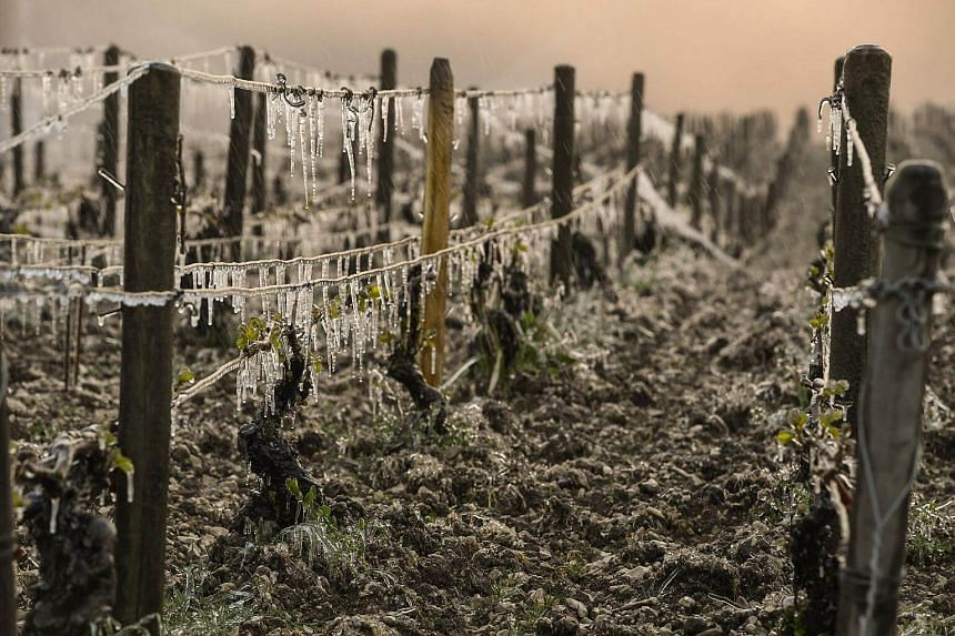 A Chablis vineyard hit by freeze in Chablis near Auxerre, northern France, on April 21, 2017.