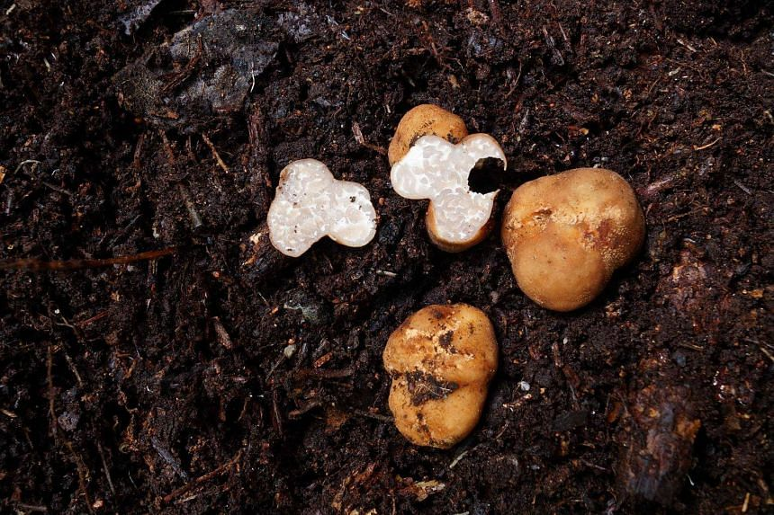 The first species, a white-coloured truffle, was discovered in 2014 and has been given the name tuber thailanddicum.