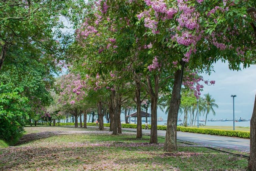 Trumpet trees (Tabebuia rosea) flowering in East Coast Park.
