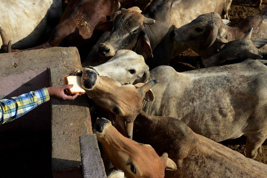 An Indian man offers food to cows at a cow shelter in New Delhi, on April 25, 2017.