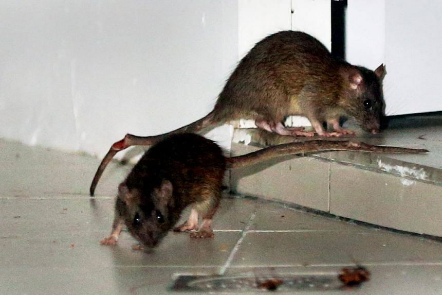 An examination by a forensic pathologist determined that the injuries were caused by rats which swarmed her as she lay on her bed.