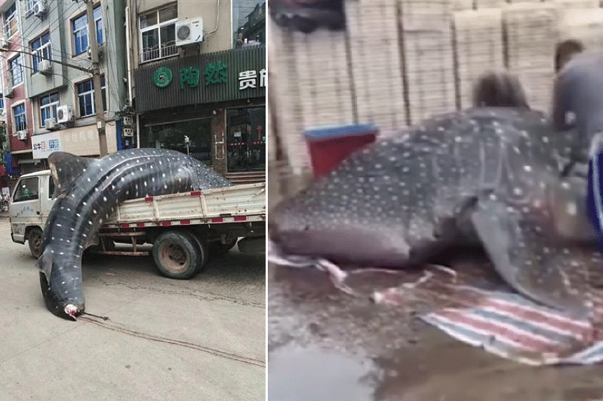 The whale shark was reportedly meant for sale to a hotel.