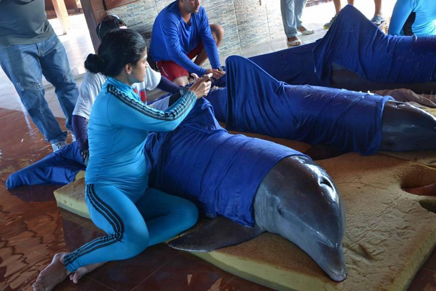Delfinario Recreation Center Cayo Guillermo staff members take care of the dolphins of the center before their transfer to the province of Cienfuegos, before the arrival of Hurricane Irma, by the northern cayie of Ciego de Avila, Cuba on Sept 8, 2017