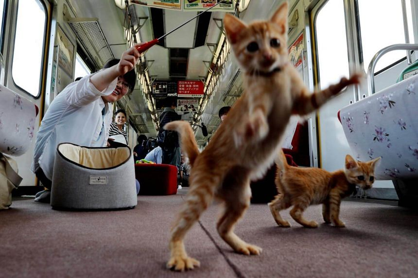 A passenger plays with cats, in a train cat cafe, held on a local train to bring awareness to the culling of stray cats, in Ogaki, Gifu Prefecture, on Sept 10, 2017.