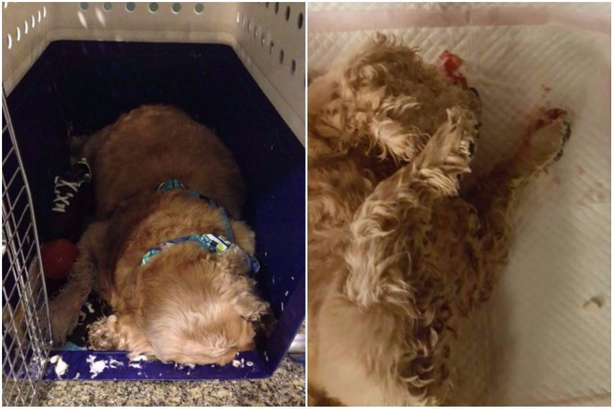 Charlie, an American cocker spaniel, died while being transferred to a Singapore Airlines plane at Changi Airport.