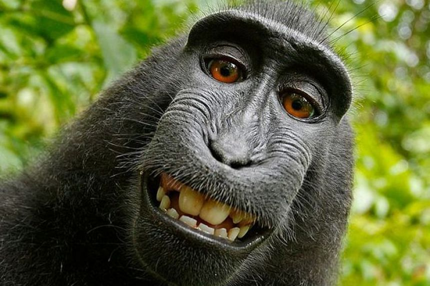 Seven-year-old rare crested macaque Naruto used British photographer David Slater's camera to take this selfie in 2011. After the monkey's selfie went viral, animal rights group Peta filed a suit in 2015 against the photographer on the macaque's beha