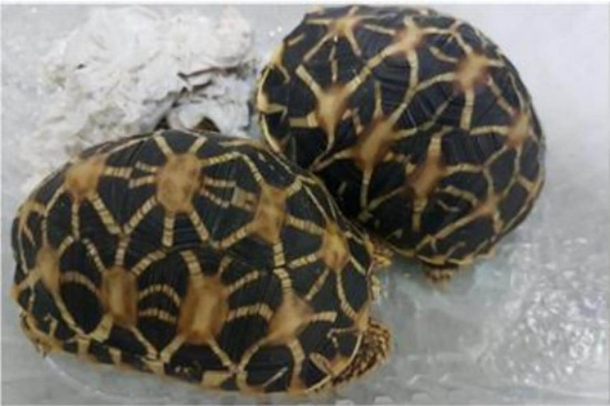 The seller transported the star tortoises and hedgehog in plastic containers.