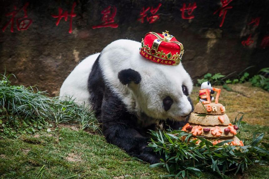 This file photo taken on Jan 18, 2017, shows giant panda Basi sniffing a birthday cake prepared by her keepers at Fuzhou Panda World.