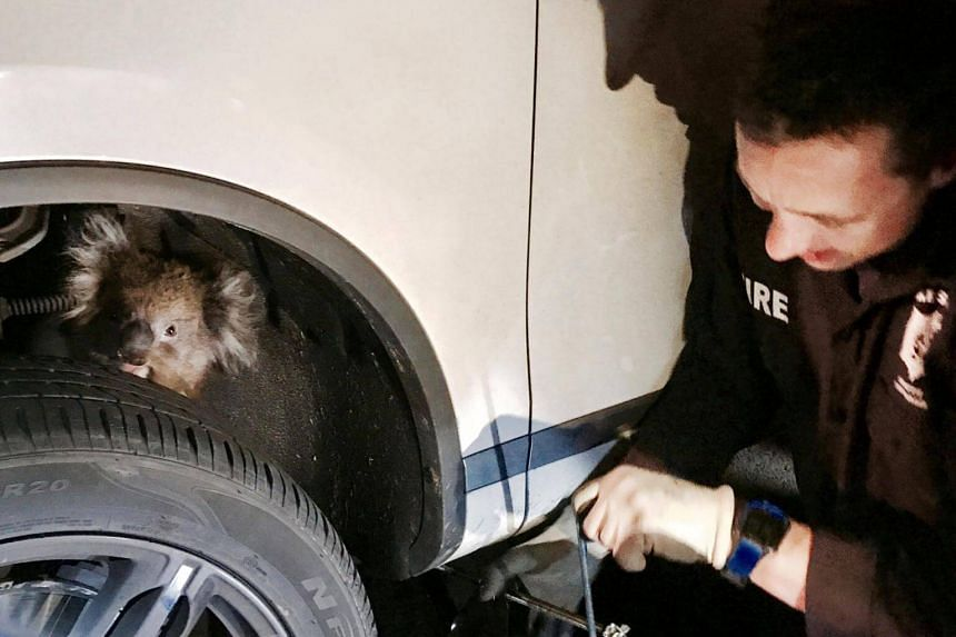 The koala, which had crawled into the wheel arch while the car was parked, was uninjured.
