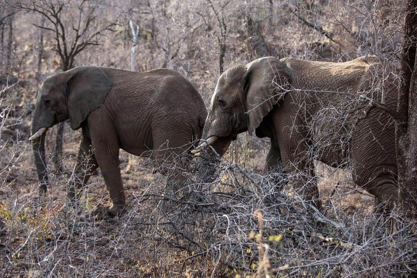 An elderly person and a toddler were killed when the elephants rampaged through the area.