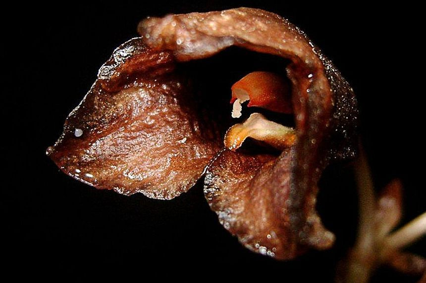 The new orchid, Gastrodia bambu, is found mostly in West Java and Mount Merapi in Yogyakarta.