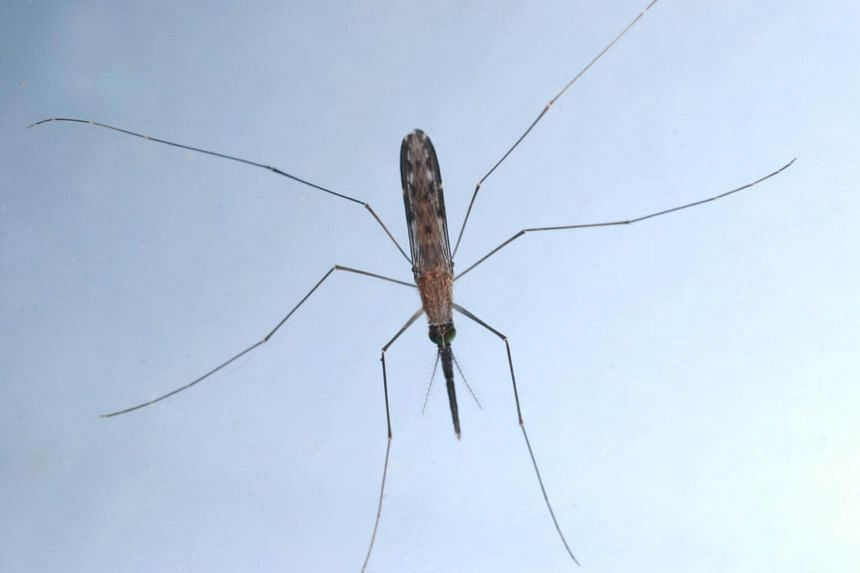 An Anopheles letifer mosquito.