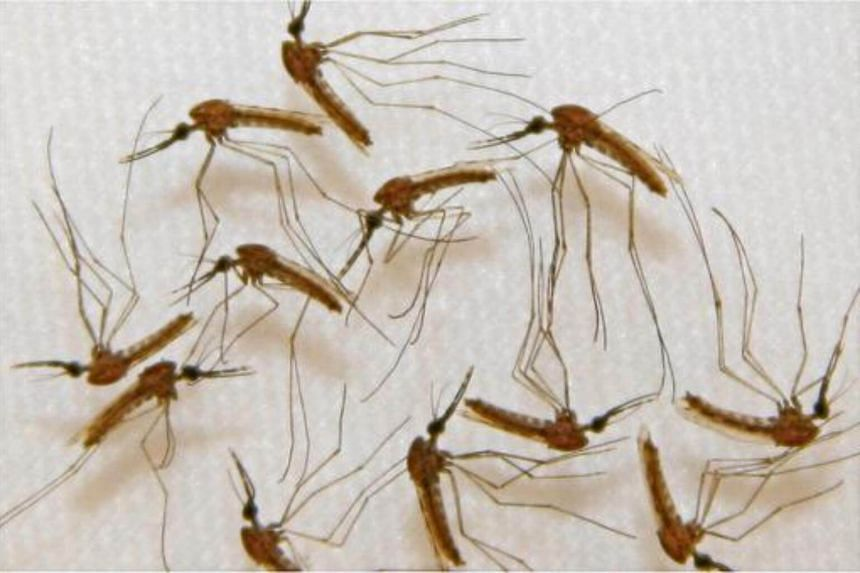 Malaria infected mosquitoes ready for dissection in the lab's manufacturing facility during vaccine production in  Sanaria, Inc. of Rockville, Maryland.