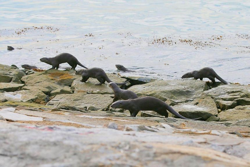 The Bishan family of otters making their way up from Marina South Pier towards the Marina Barrage on Sunday morning.