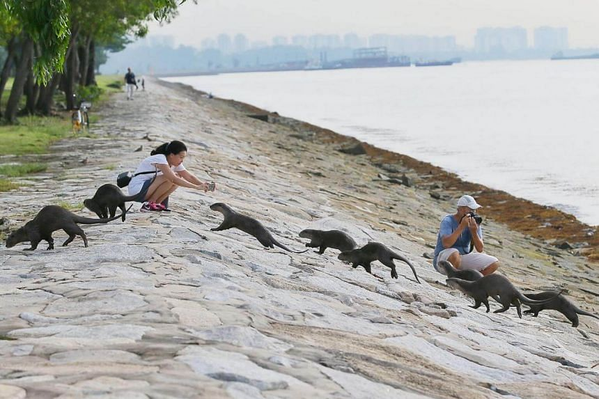 Finance professional Ng Soon Lee, 48, and retiree Patrick Ng, 63, photographing the Bishan family of otters near Marina South Pier on Sunday morning.