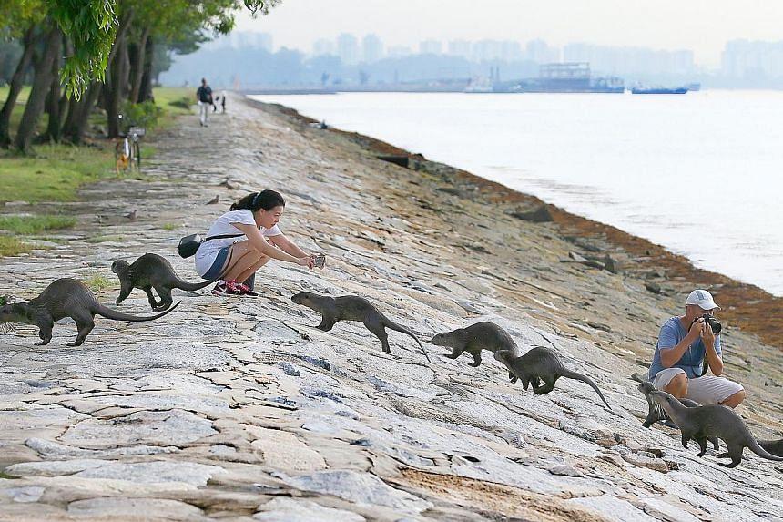 Finance executive Ng Soon Lee, 48, and retiree Patrick Ng, 63, taking photos of the Bishan family of otters near Marina South Pier yesterday morning.