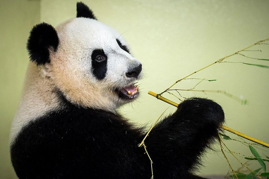 China's giant panda had a smaller habitat in 2013 than when it was declared endangered more than 20 years earlier, researchers said, with their living space coming under threat from earthquakes, road construction, tourism and global warming.