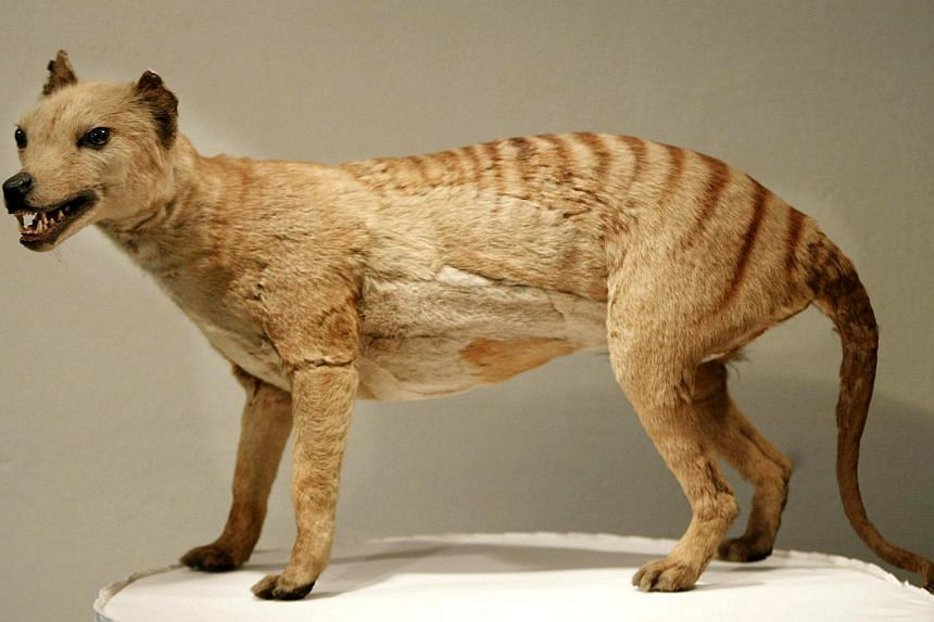 A Tasmanian tiger (Thylacine), which was declared extinct in 1936, on display at the Australian Museum in Sydney on  May 25, 2002.