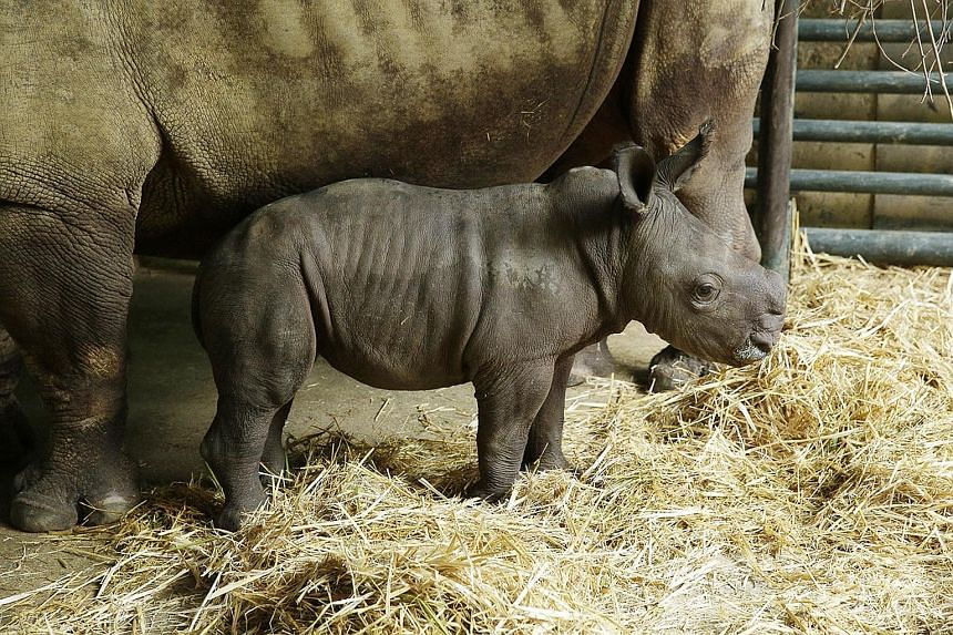 White rhinoceros Donsa gave birth early on Sept 6 to her 11th calf and the Singapore Zoo's first male rhino in five years, after a string of females. The youngling has yet to be named, but is reported to be energetic and healthy.