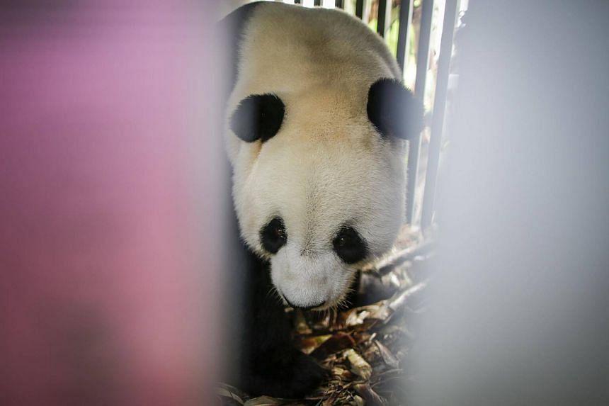 Male giant panda Cai Tao arrives at Soekarno-Hatta international airport in Tangerang, Indonesia, on Sept 28, 2017.