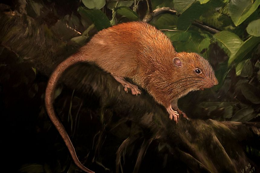 A new species of rat, Uromys vika, is shown in this illustration provided on Sept 28, 2017.