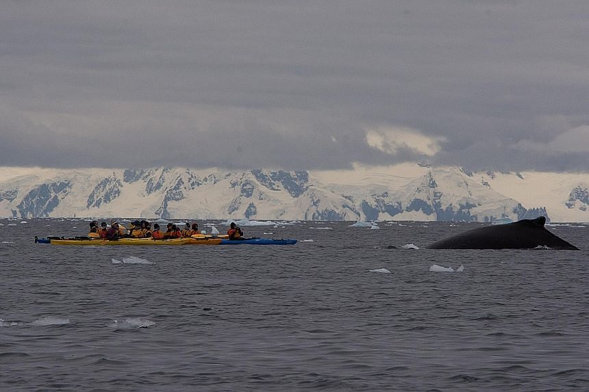 Kayakers in Antarctica getting close to a humpback whale.