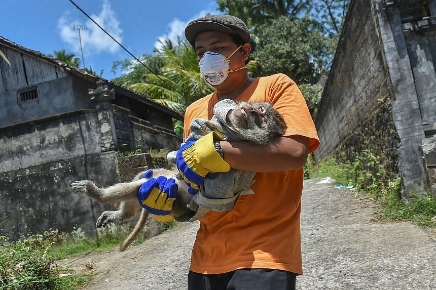A sedated monkey being carried from a villager's house in Sideman last Friday. Around 10,000 cows have been moved from the cattle-farming hub on Mount Agung's slopes, but more animals remain in the red zone.