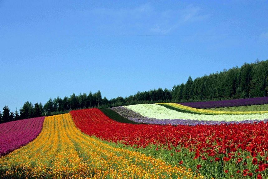 Rows of multi-coloured flowers at Irodori field, Hokkaido, Japan. Visit the Dynasty Travel Japan Travel Fair, taking place at Ngee Ann City from Friday to Oct 8, and stand a chance to win a SIM card.