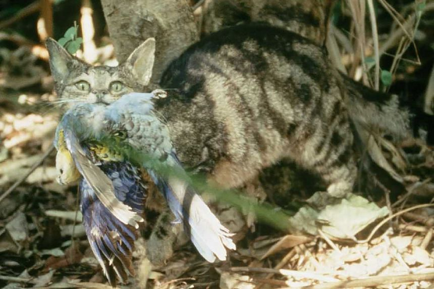 Feral cats, which number in their millions across the country, are also considered the main culprit behind Australia's high rate of mammal extinction.