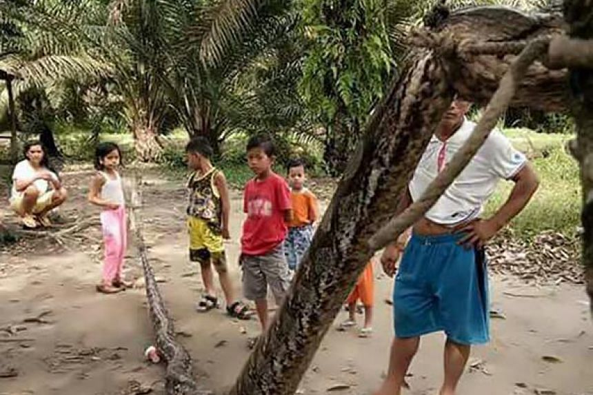 Villagers with a 7.8 metre (25.6 foot) long python which was killed after it attacked an Indonesian man, nearly severing his arm, in Batang Gansal, Sumatra island, on Sept 30, 2017.