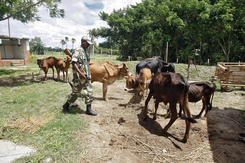 Since the violence in Myanmar, there has been a sudden rise in the number of cattle coming from India, said traders in Bangladesh, which considers the border trade legal.