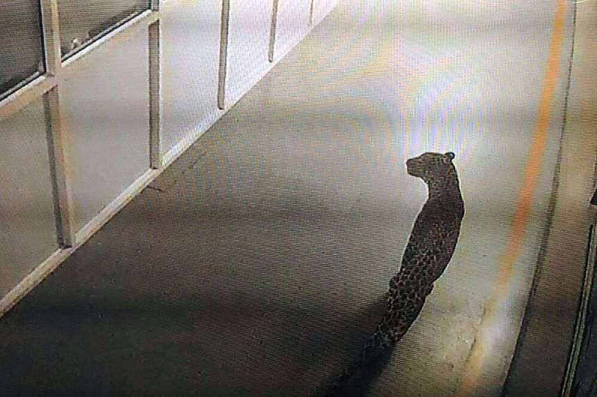 This photo of a screen displaying CCTV footage shows a leopard walking inside an Indian car factory in Manesar on Oct 5, 2017.