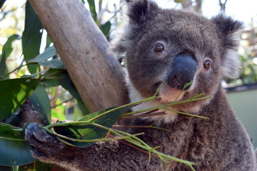 Irene the koala was discovered missing from its holding yard at the Australian Reptile Park, some 50km north of Sydney, park officials said.