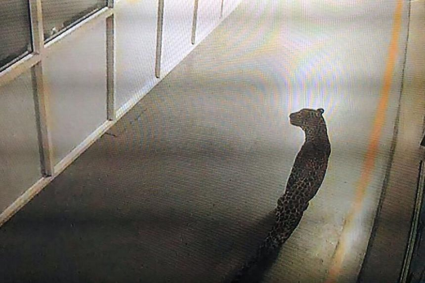 A screenshot of CCTV footage showing a leopard walking inside an Indian car factory in Manesar on Oct 5, 2017.