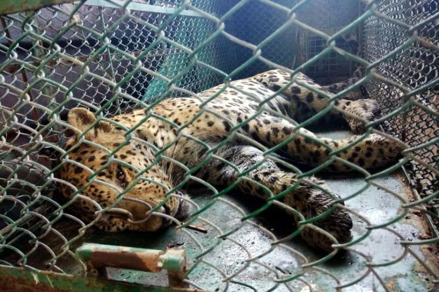 A leopard lies sedated inside a cage after being captured in a search operation by a wildlife team at the Maruti Suzuki plant in the Indian city of Gurgaon.