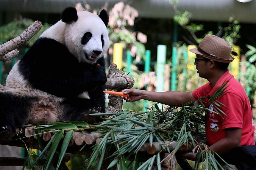 Nuan Nuan at its farewell ceremony in Zoo Negara on Thursday. Its parents, Xing Xing and Liang Liang, arrived in Malaysia in May 2014 to mark the 40th anniversary of diplomatic relations between Malaysia and China.